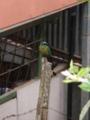 [ハチクイモドキ][鳥類][モンテベルデ][コスタリカ]