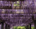 京都新聞写真コンテスト 鳥羽の藤