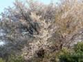 [風景]山桜