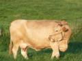 [風景]肥後の赤牛