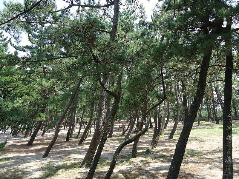 浜坂海岸 松の庭