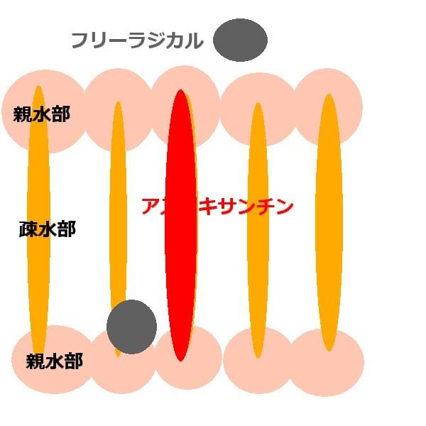 細胞膜の二重脂質層とアスタキサンチンの抗酸化作用