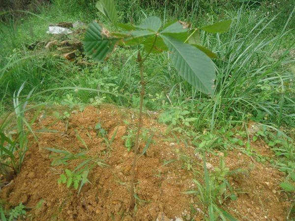 栃の木を植える