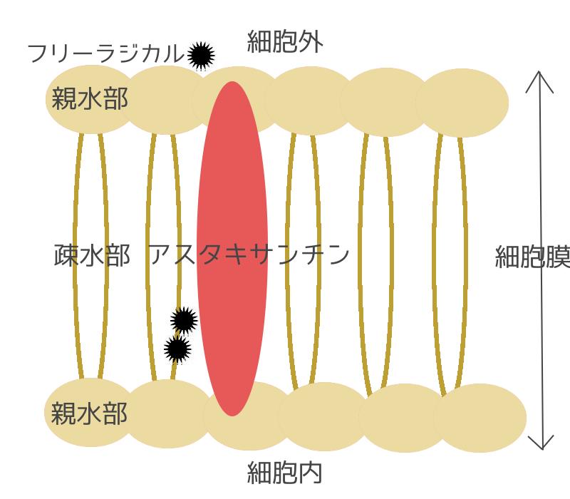 アスタキサンチンと細胞膜