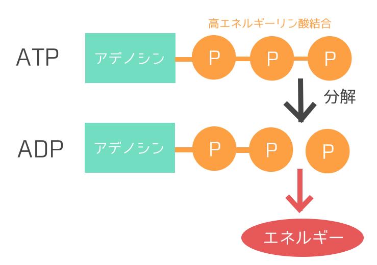 f高エネルギーリン酸結合