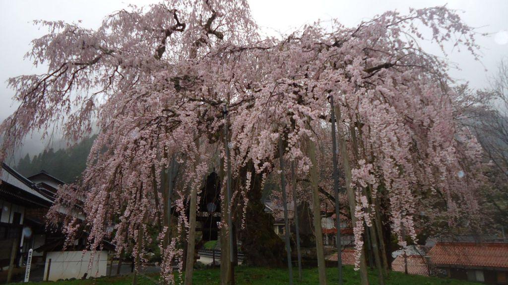 泰雲寺の枝垂れ桜