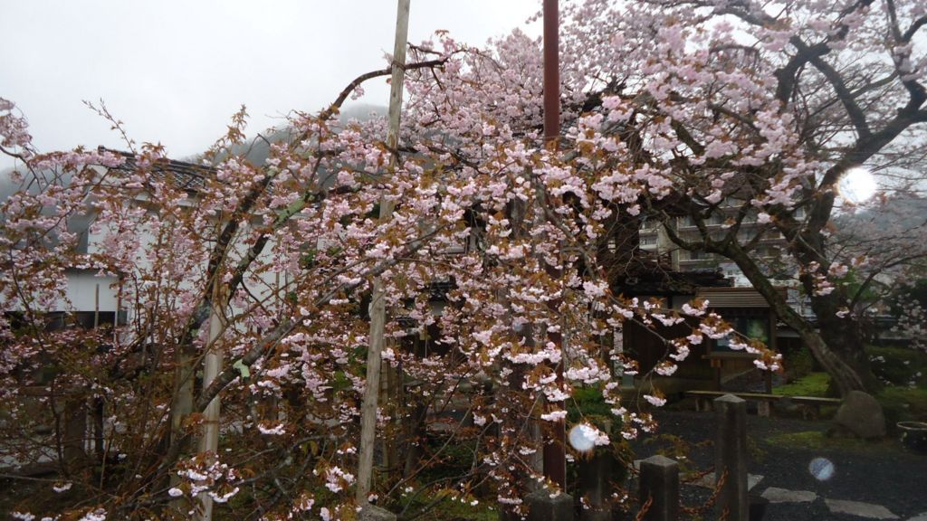 正福寺の八重桜
