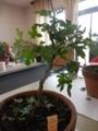 盆栽菊作り3