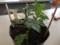 盆栽菊作り2