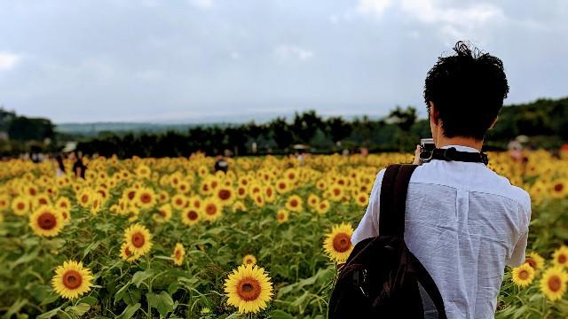 ひまわり畑で写真を撮る夫の背中