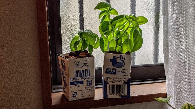 牛乳パックでバジル栽培している窓際の写真