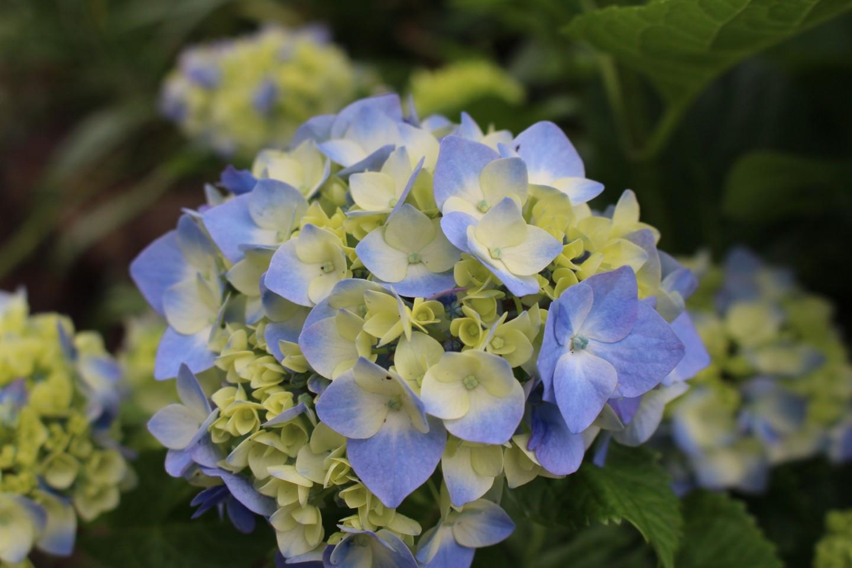 杉並区善福寺 善福寺の紫陽花の写真1