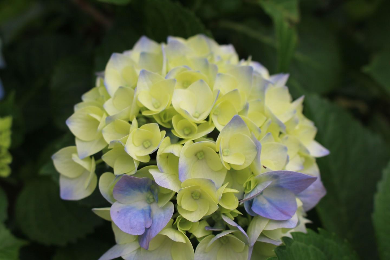 杉並区善福寺 善福寺の紫陽花の写真2