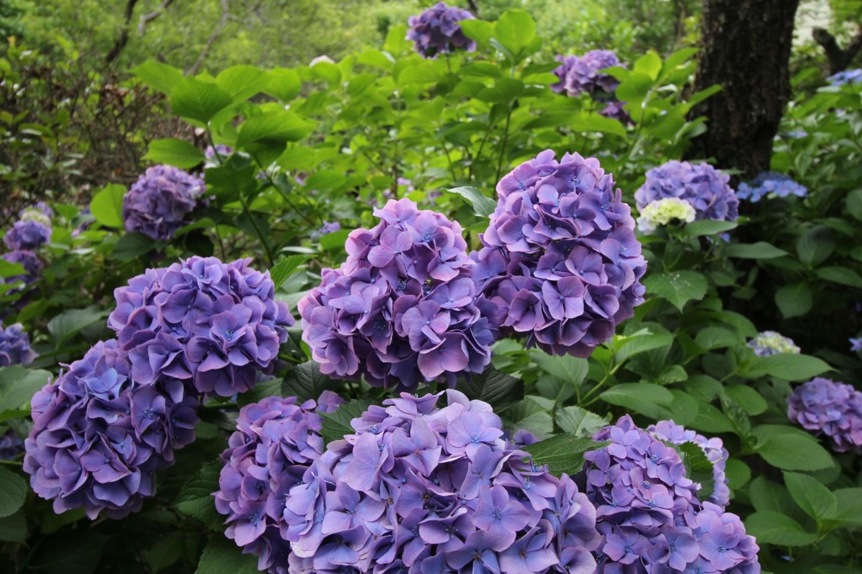 稲城市矢野口 雲騰山妙覚寺の紫陽花の写真1