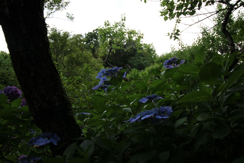 稲城市矢野口 雲騰山妙覚寺の紫陽花の写真2