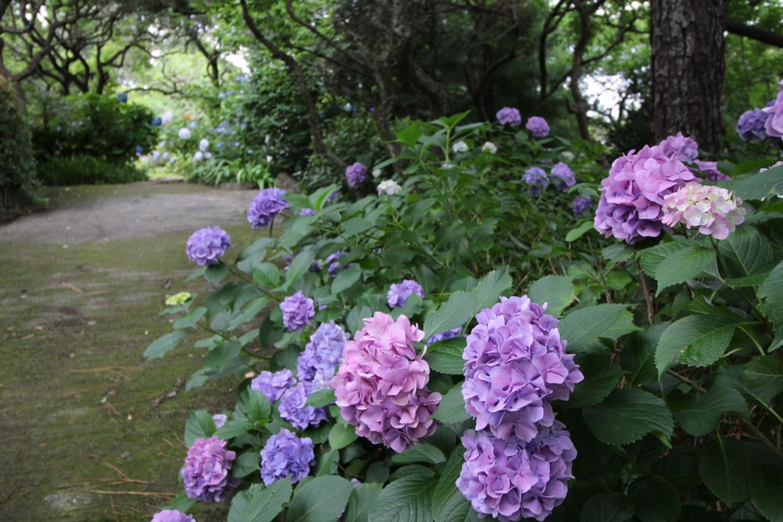 稲城市矢野口 雲騰山妙覚寺の紫陽花の写真3