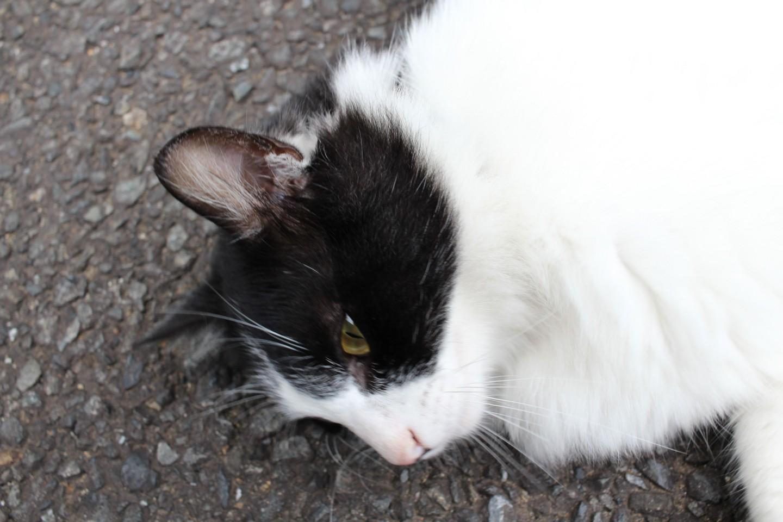 川崎市麻生区片平 修廣寺の猫の写真1
