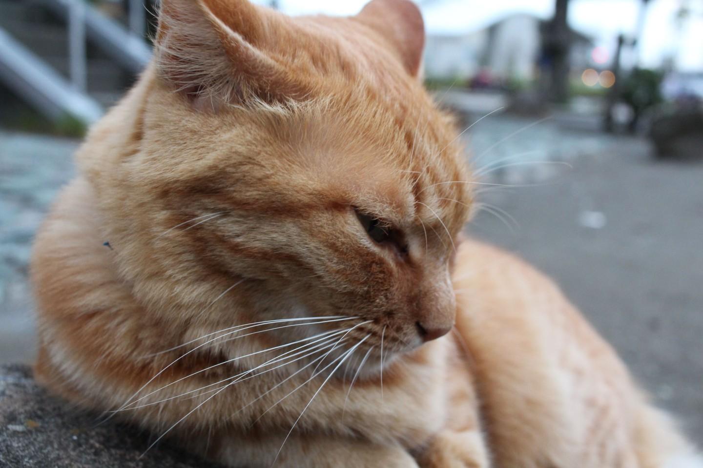 江ノ島の猫の写真3