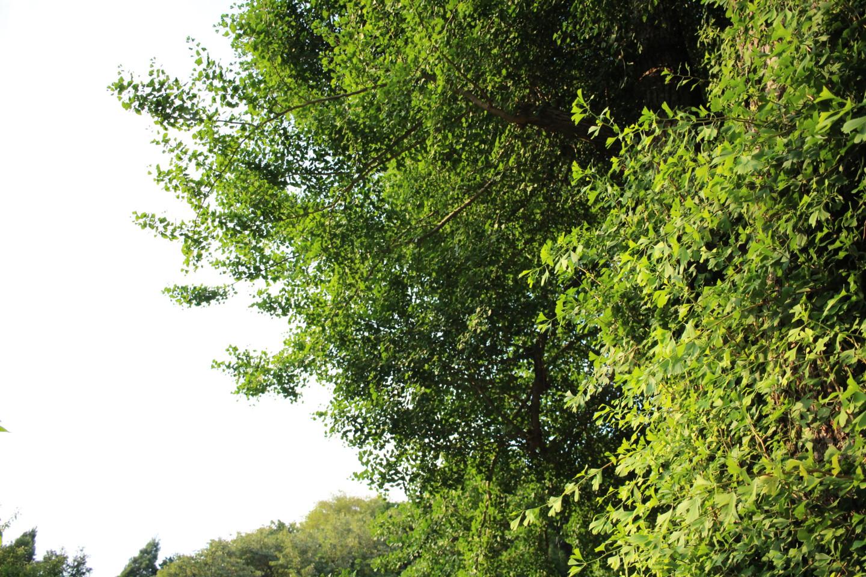 飯能市 高山不動尊常楽院の大イチョウの写真1