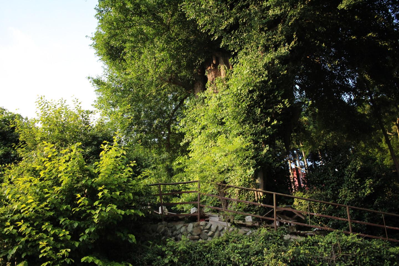 飯能市 高山不動尊常楽院の大イチョウの写真2