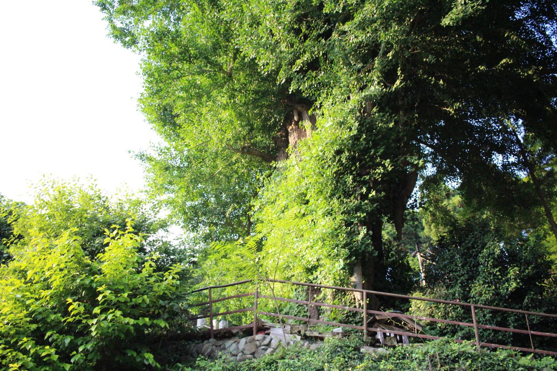 飯能市 高山不動尊常楽院の大イチョウの写真3