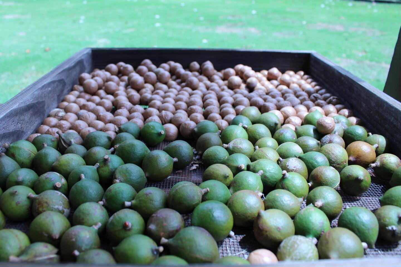 収穫したマカダミアナッツの実の写真