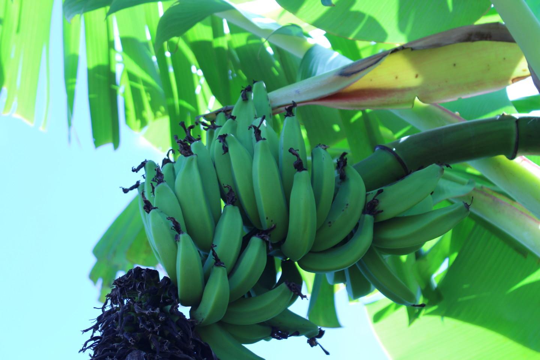 ドール・プランテーションのバナナの写真