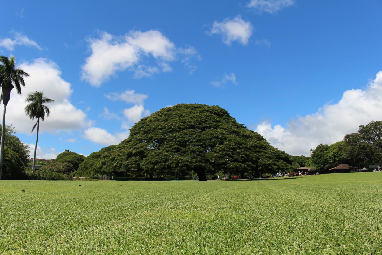 モアナルア・ガーデンの日立の樹の写真2