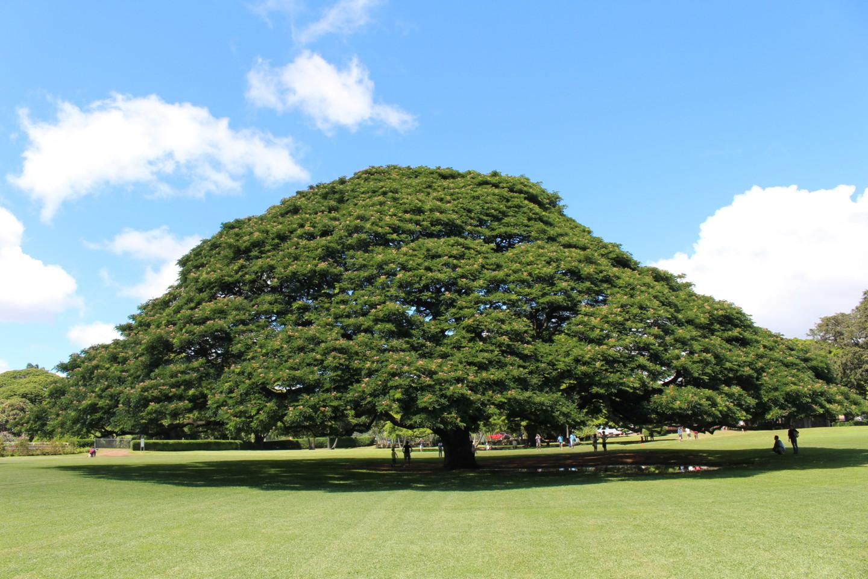 モアナルア・ガーデンの日立の樹の写真1