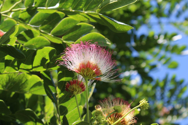 モアナルア・ガーデンの日立の樹の花の写真