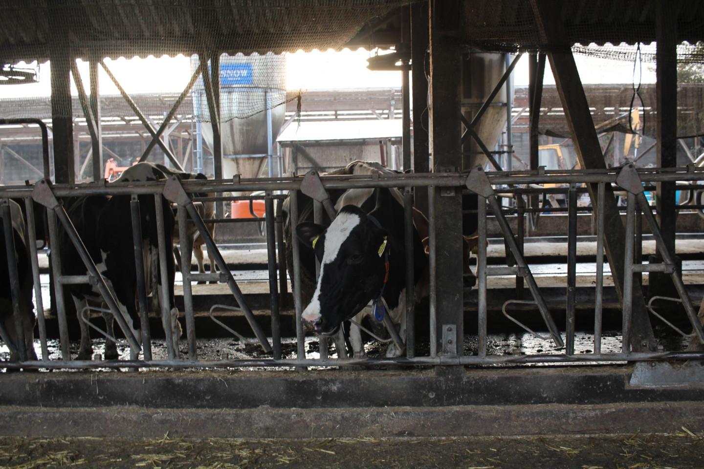 榎本牧場の牛の写真