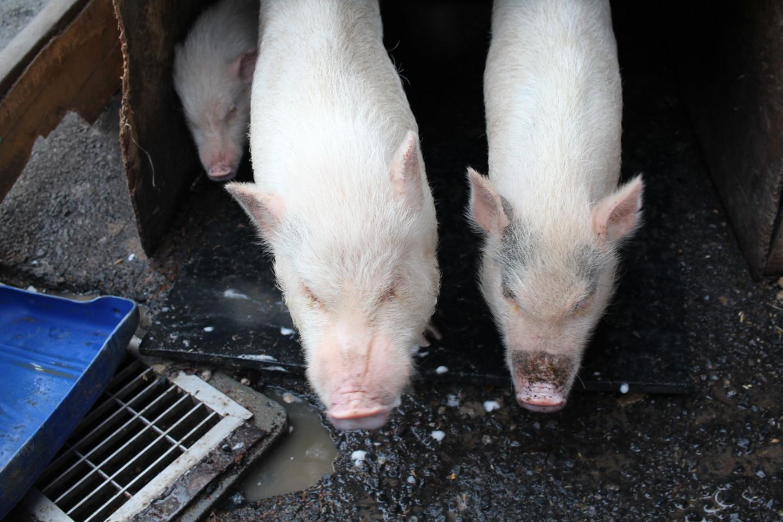 榎本牧場の豚の写真