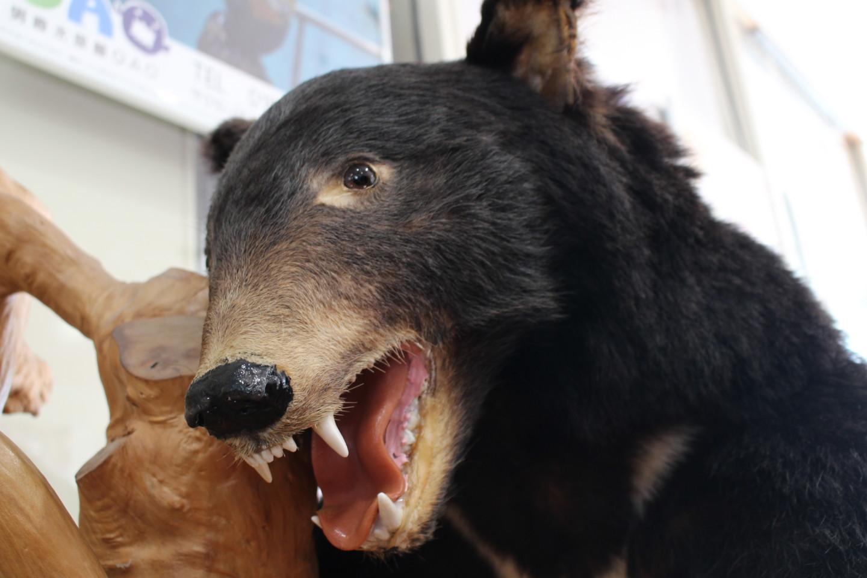 森吉山阿仁スキー場の熊の写真