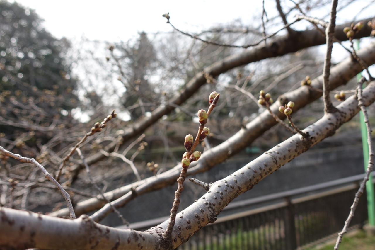 祖師谷公園の桜のつぼみの写真