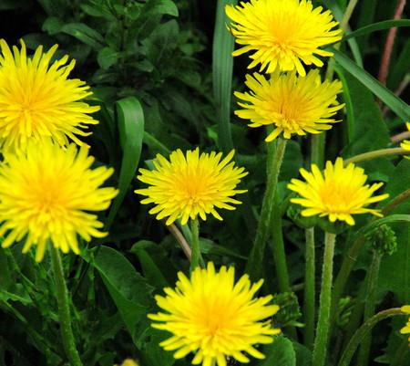 さくら草公園で咲いていたカントウタンポポ
