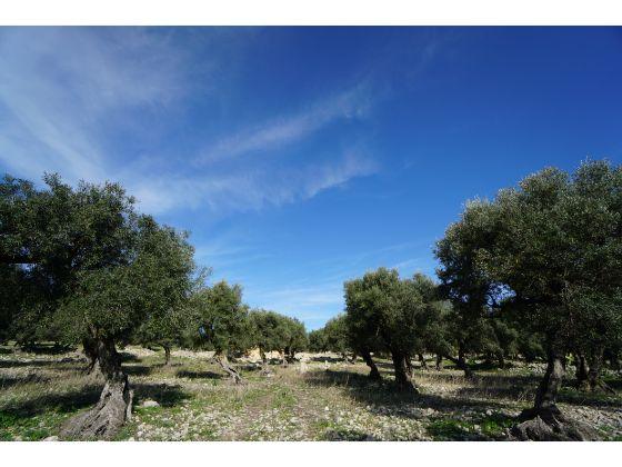 チュニジア ドゥッガ遺跡 個人旅行 世界遺産 オリーブの木
