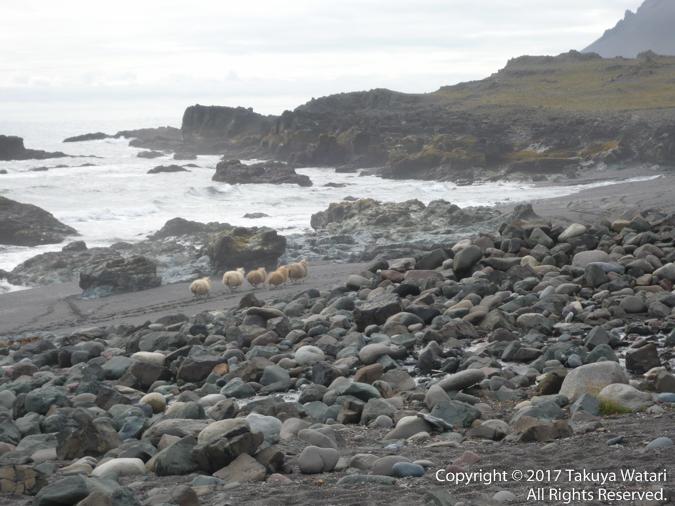 アイスランドで見た羊