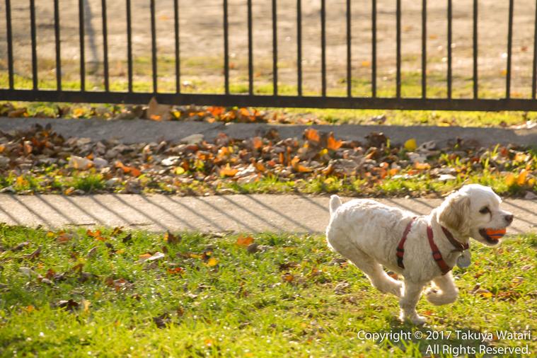 カナダで走る犬