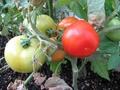 トマト初収穫-1