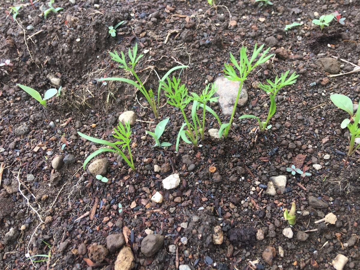 ニンジンの芽が少しずつ伸びてきました