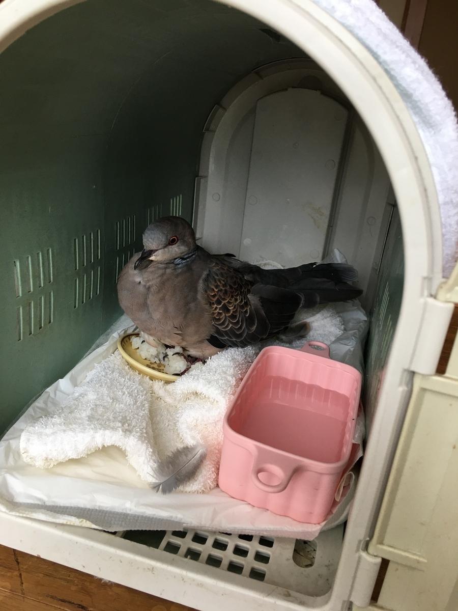 鳩を保護しました