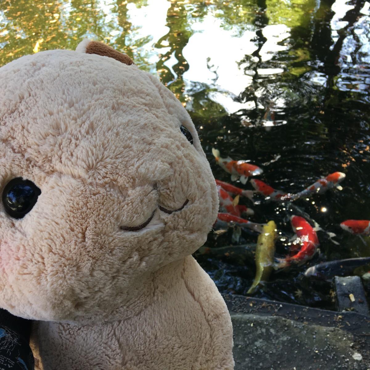 伊豆山神社の池の鯉