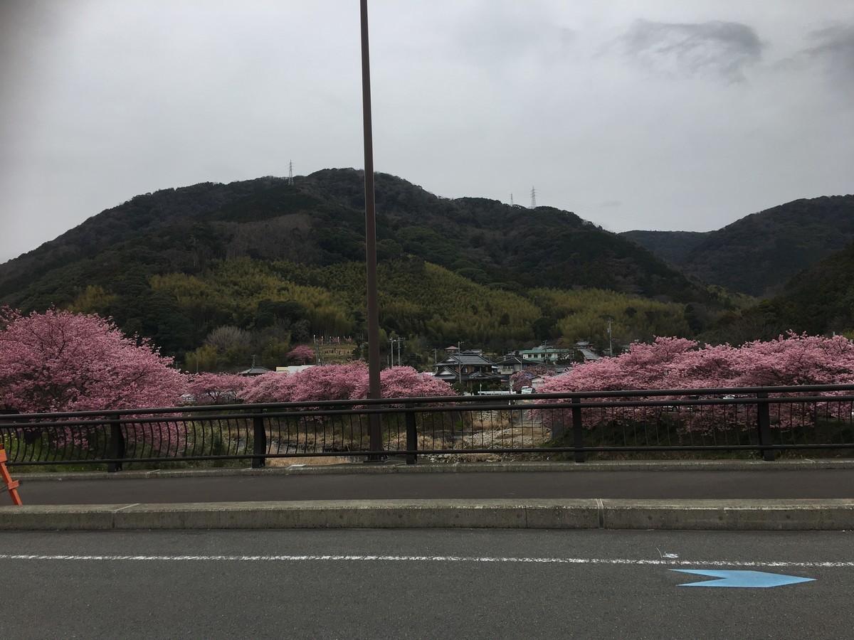 伊豆河津桜
