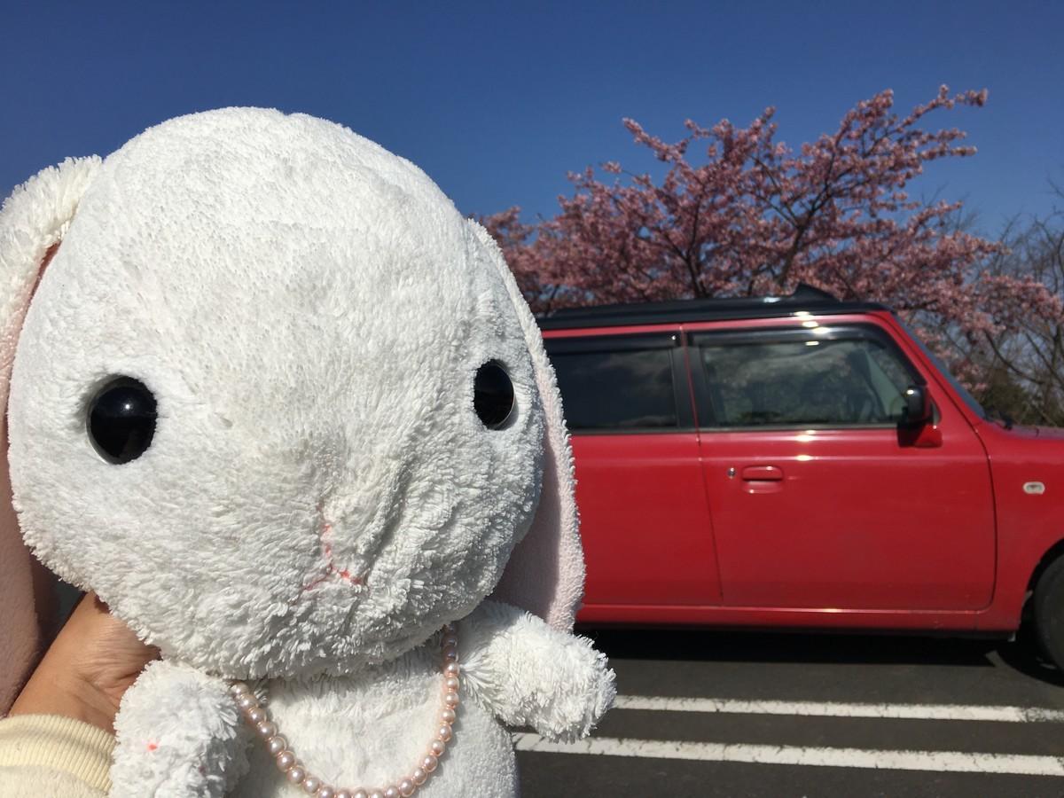 ラパンさんでお花見!桜が見ごろ