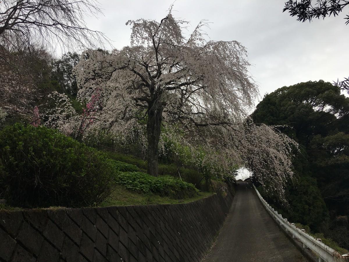 山道を進めと桜が見えてきます