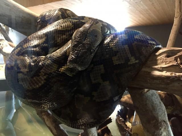 横浜市戸塚区名瀬町のマンションから特定動物アミメニシキヘビが脱走!