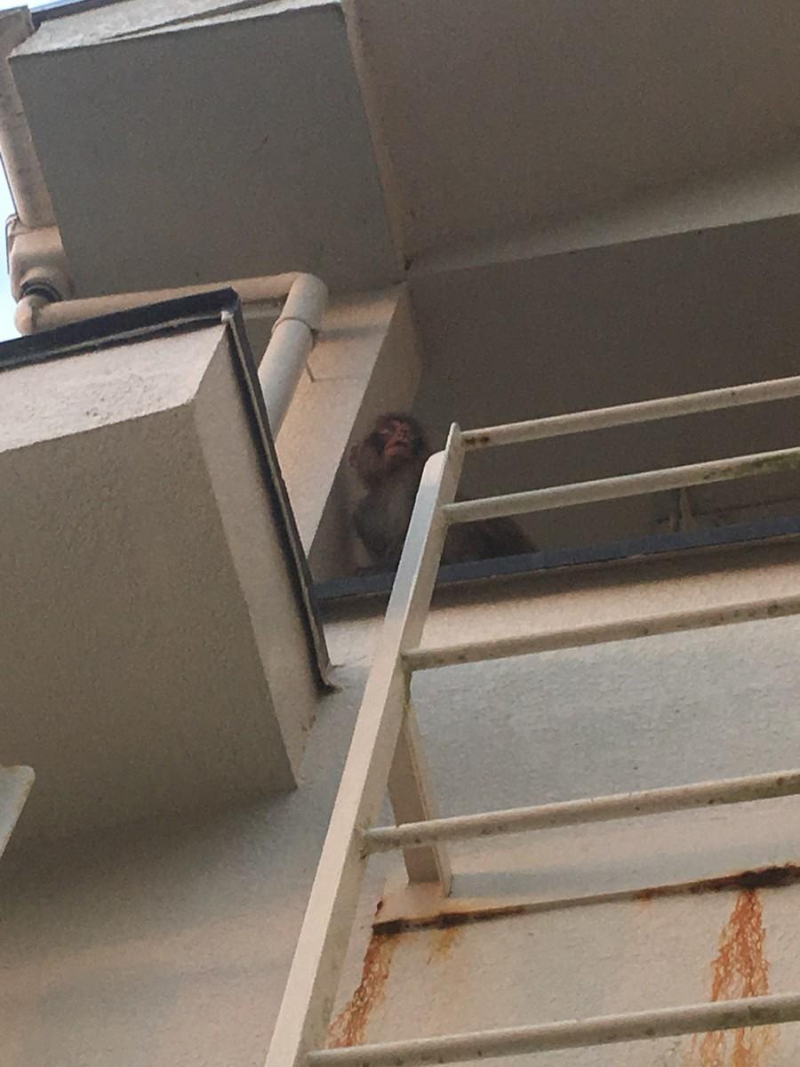 アパートのベランダによじ登る猿