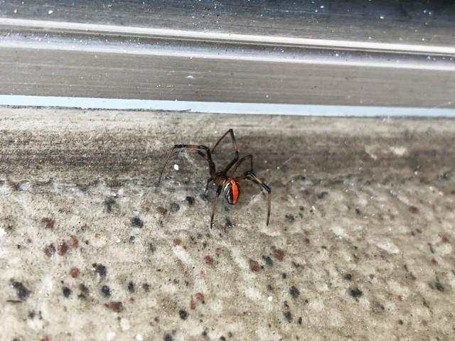 千葉県袖ケ浦市の市立奈良輪小学校プール側溝で毒グモのセアカゴケグモ発見!危険性は?