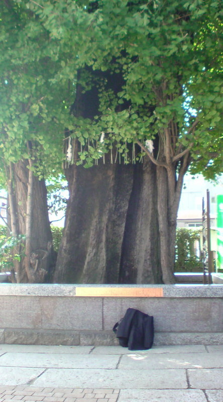 でっかい銀杏の木