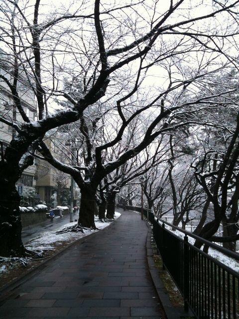 いつもの桜道